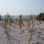 Angepflanzter Strandhafer am Strand